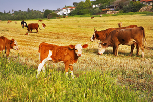 Photos of cows in a pasture